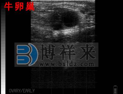母牛卵巢牛用B超图