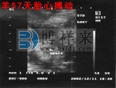 母羊怀孕57天影像图