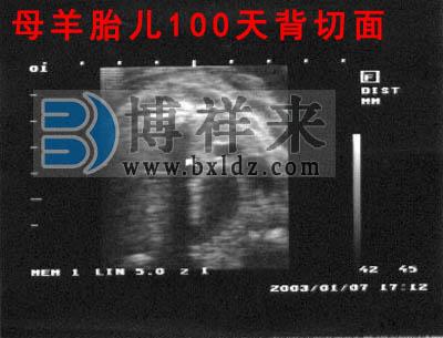 母羊怀孕100天超声影像图