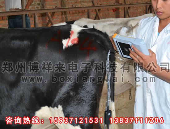 牛用B超对肉牛的检测